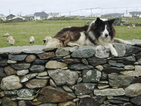 'Border Collie'