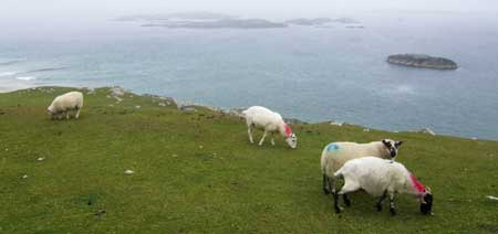 'Fluoro Sheep'