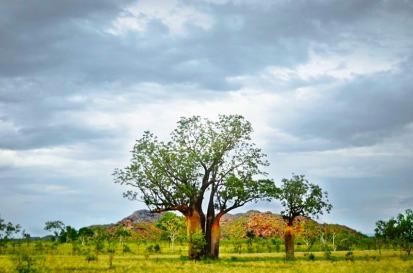 Cluster of Boab trees in the savanna, The Kimberley, Western Australia.